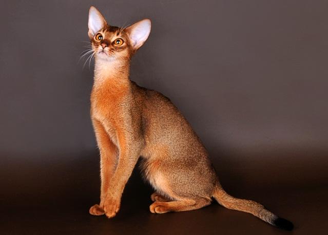 абиссинские кошки плюсы