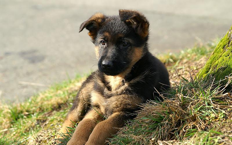 как выбрать собаку, как выбрать щенка